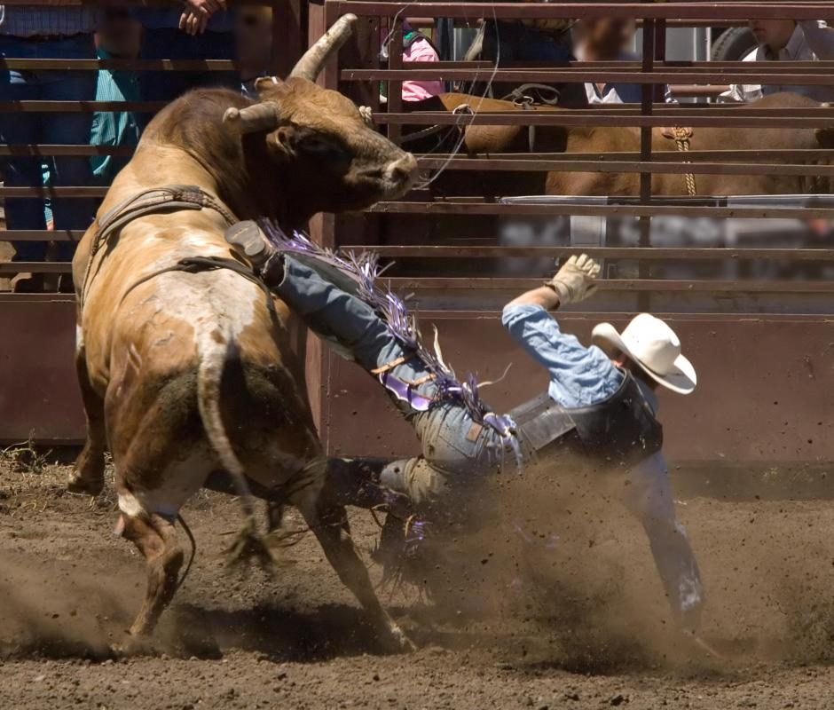 Rodeo clowns distract the bull after it throws a rider.