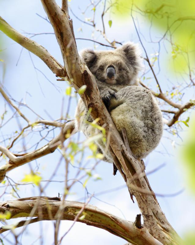 A zoologist might study the differences between marsupial mammals, like koalas, and placental mammals.
