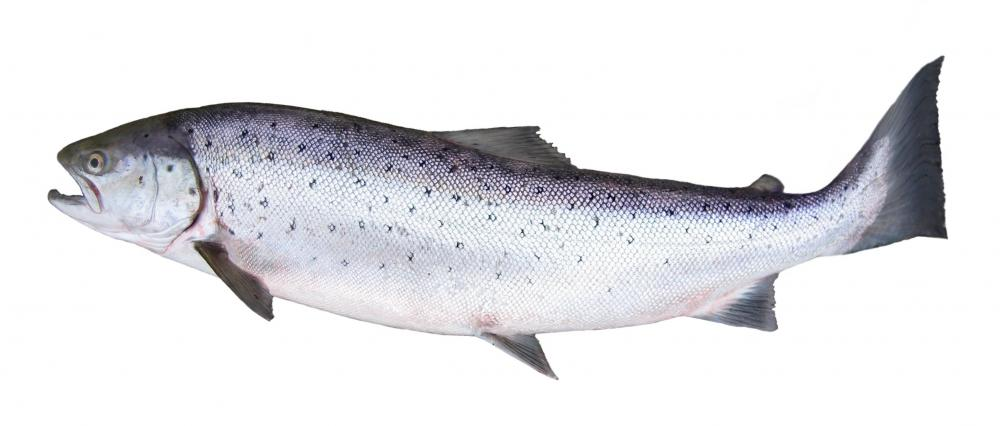 An Atlantic salmon.